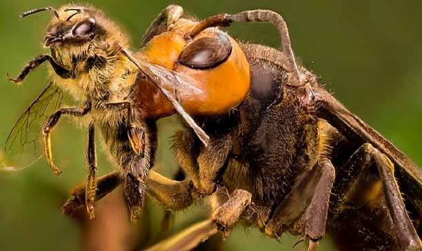 bee attacked by asian wasp (velutina)