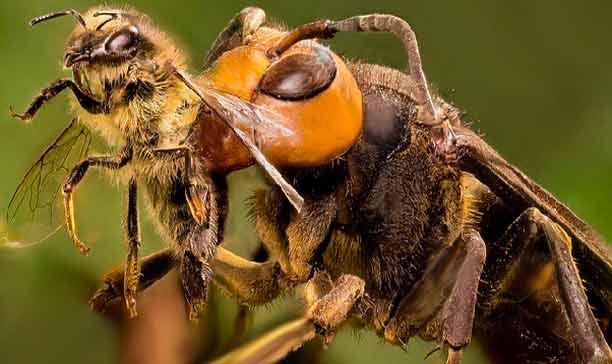 abeja atacada por avispa asiática (velutina)