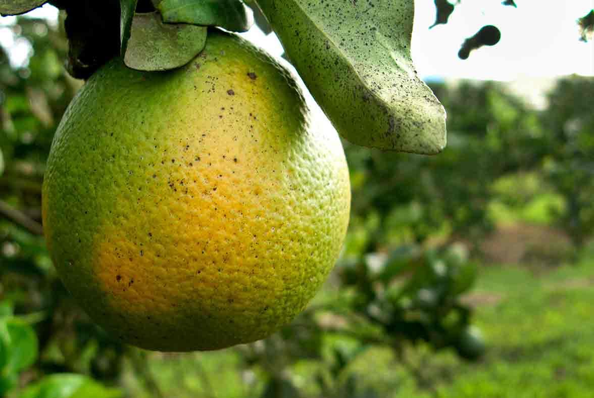 plagas agrícolas que dañan los árboles frutales, como el citrus greening