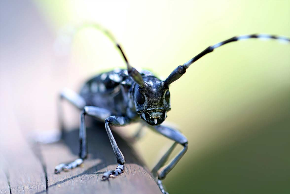 The horned beetle is one of the agricultural pests that we treat