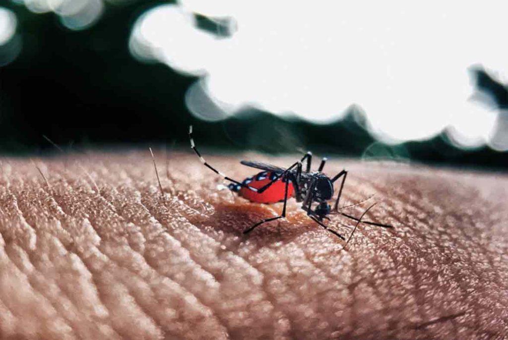 mosquito tigre con el abdomen lleno de sangre humana