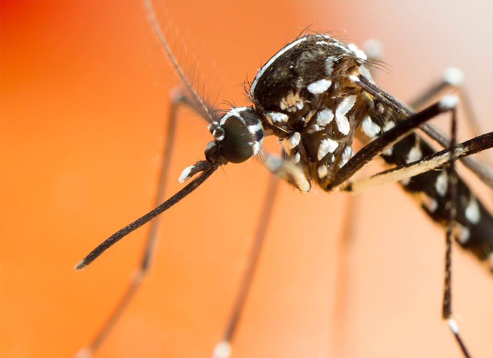 Image of tiger mosquito