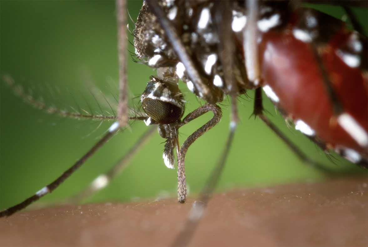 mosquito tigre finalizando picadura