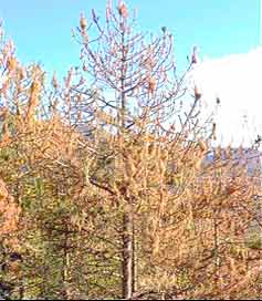 Defoliated trees produced by the pine processionary