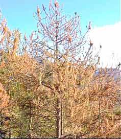 Árboles defoliados producido por la procesionaria del pino