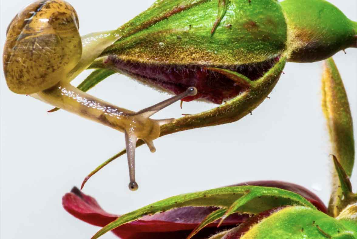 Los caracoles y las babosas, otros grandes conocidos en el mundo de las plagas agrícolas