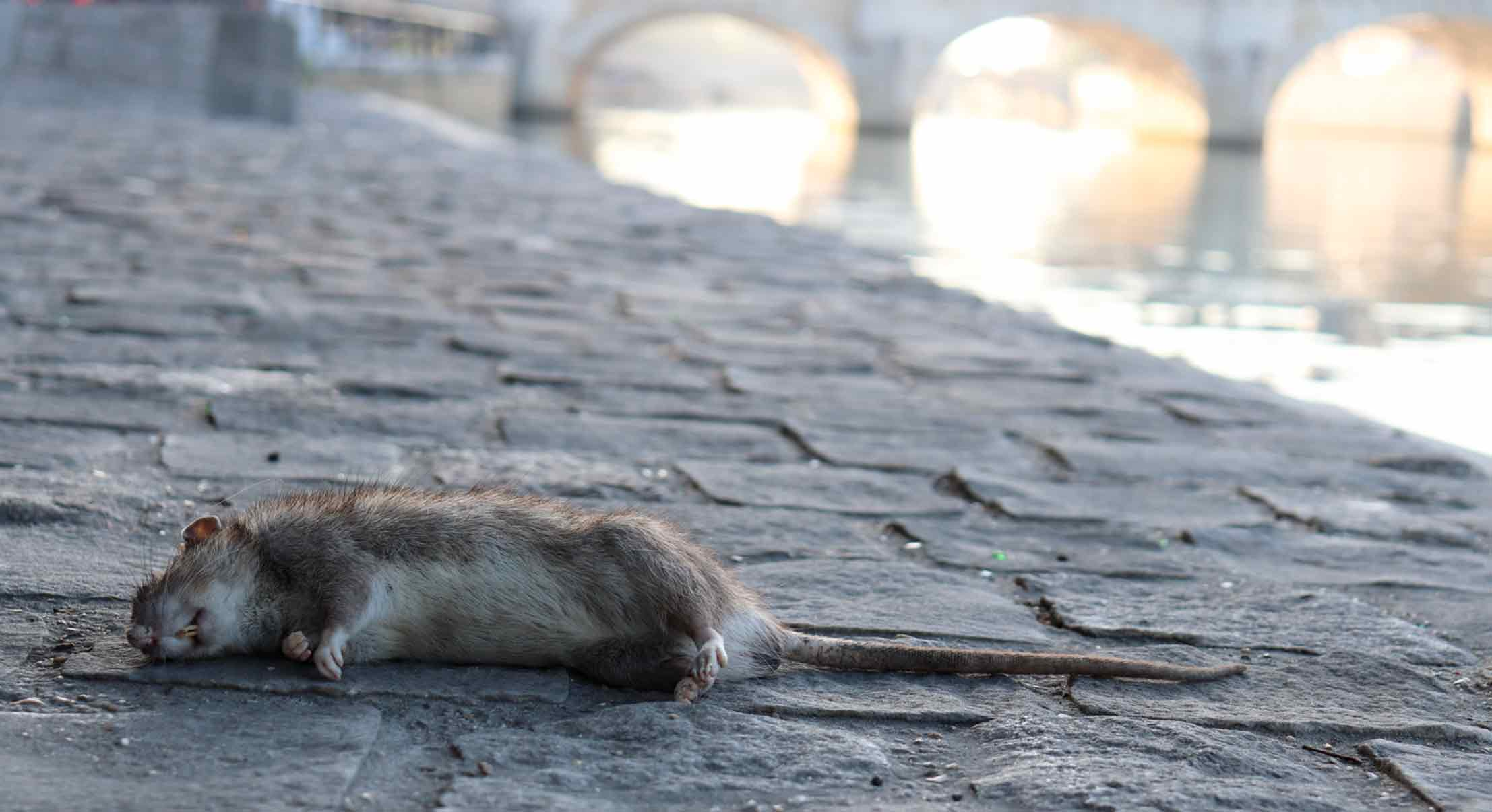 Rat urban pest image