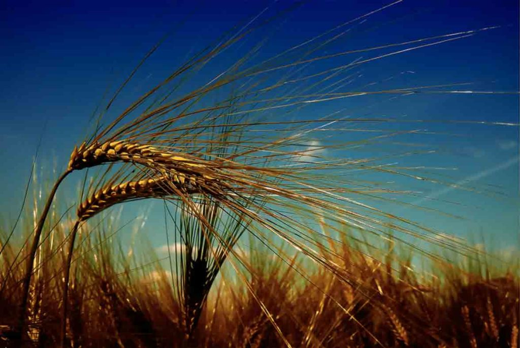 We treat agricultural pests to have healthy wheat fields