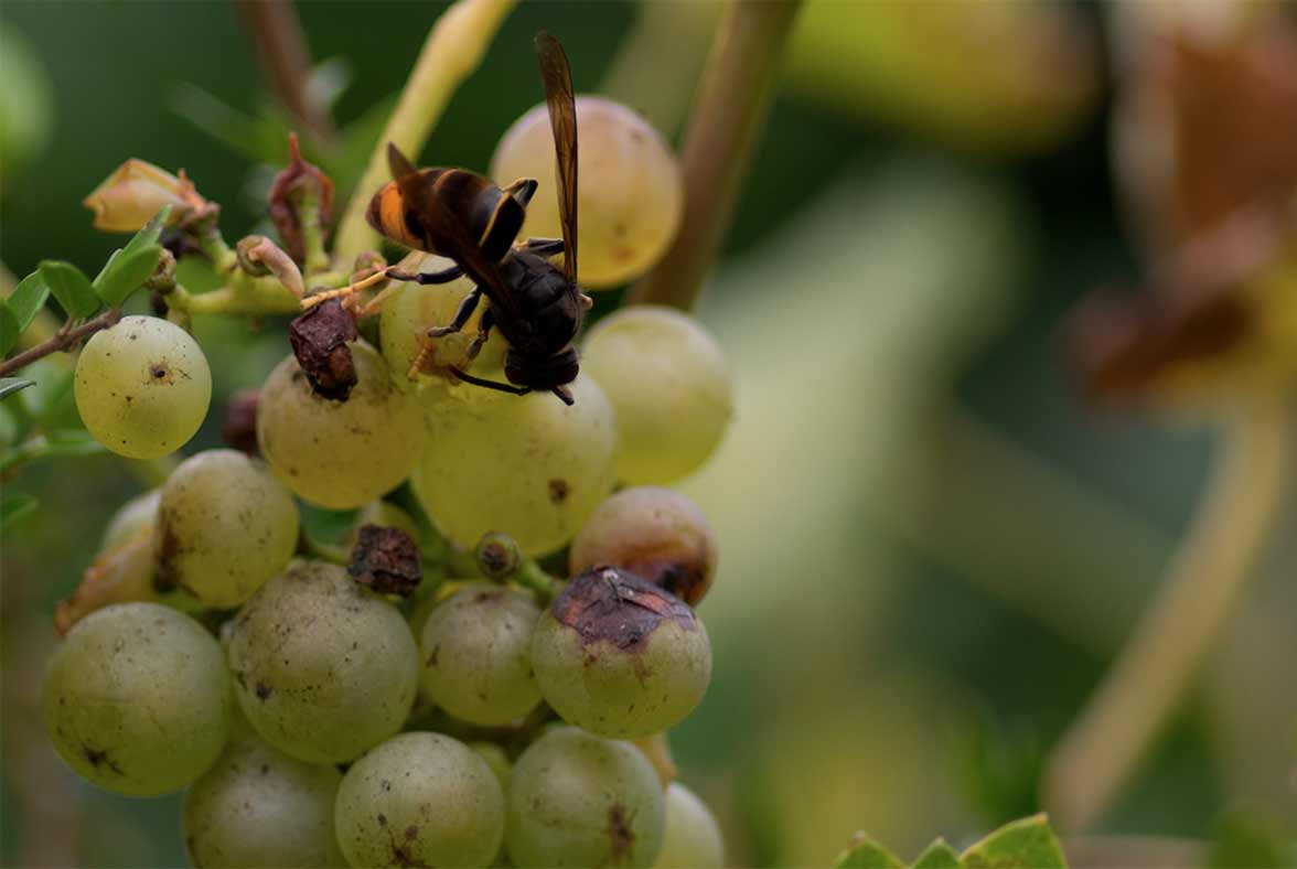 Asian wasp (velutina) devouring grapes. Another of the agricultural pests to treat from FitoStinger