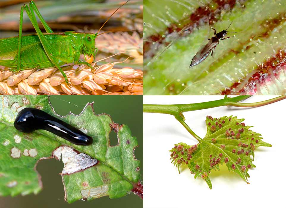 Image of agricultural pests