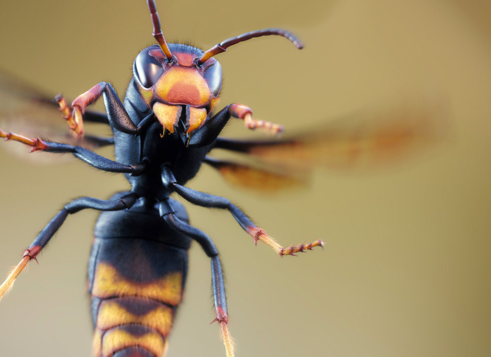 Immagine di vespa asiatica