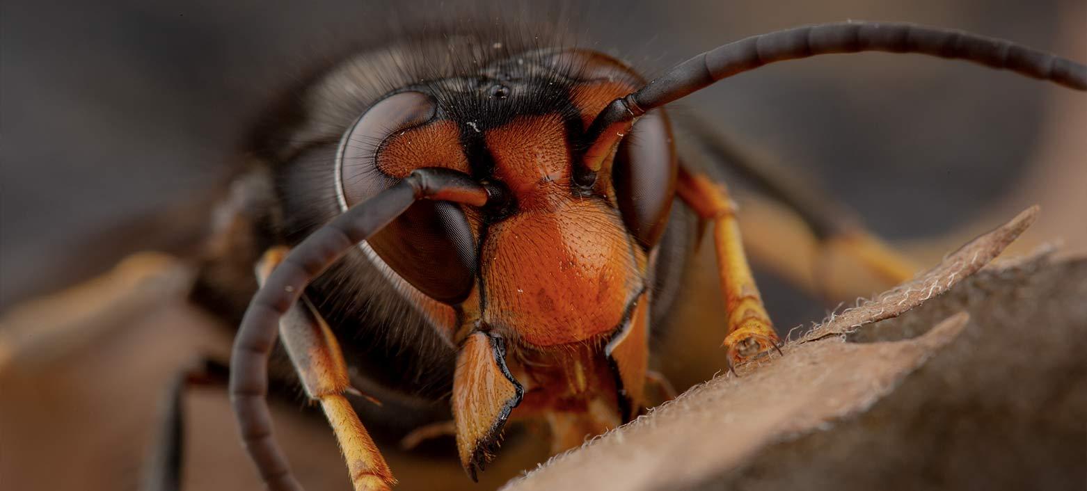 vespa velutina (asiatica) sul ramo