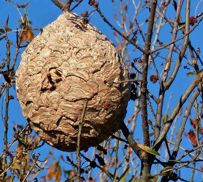 Nido di vespe secondario di Velutin (asiatico)