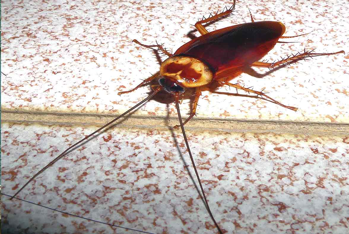 Imagem de mosca negra